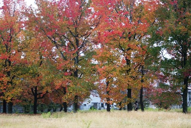 IMG_2954 広大跡地並木も紅葉 W