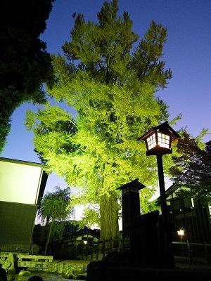 瀬戸川横の大銀杏