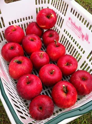 リンゴ陽光