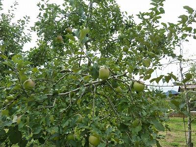国府のりんご
