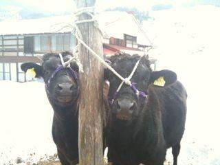 ふたごの子牛