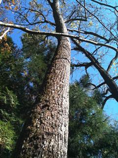 山梨の木の幹3