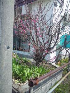 梅が咲いてるお宅