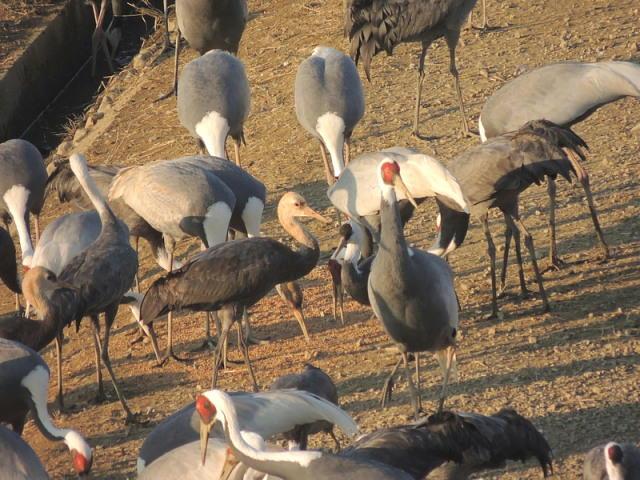 20140102-2 13-12-5 ナベズルの幼鳥017