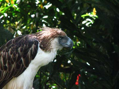 Sir_Arny(Philippine_Eagle)[1]