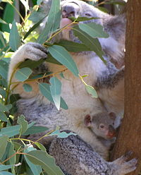 200px-Koala_with_young[1]