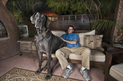 giant_great_dane_01_m.jpg