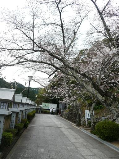 桜を眺めながら本堂へ向かう