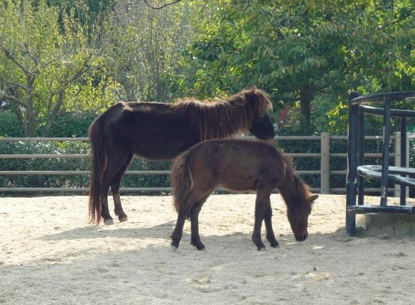 のま馬は、体重が軽いので蹄鉄を付けてないみたいだった