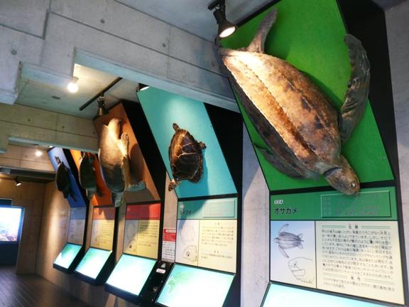 現在生きている世界のウミガメ8種を実寸で展示