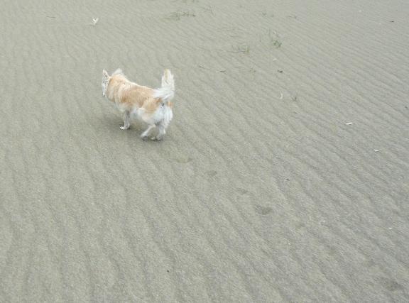 砂が目に入って、可哀想なチワ