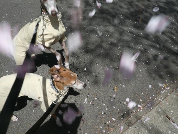 実はこれ2回目の花吹雪なので、すでに道路に花弁がいっぱい。