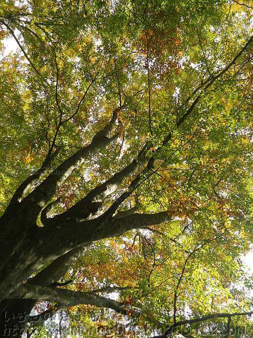 黄葉している金剛山のブナ
