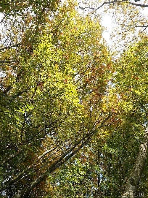ブナ以外にもシラキなど様々な広葉樹が黄葉しています