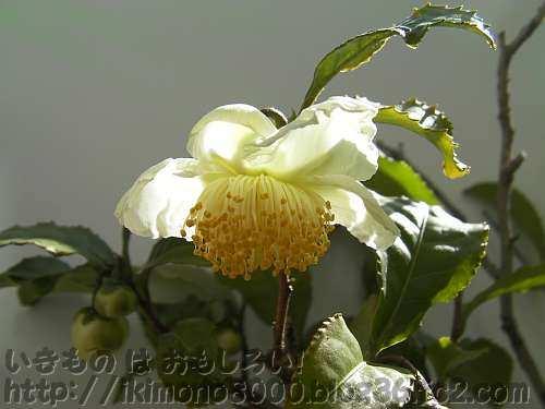 うちのお茶の花