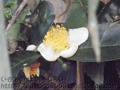 下赤阪の棚田のお茶の花