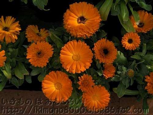キンセンカ「ドワーフ・アリスオレンジ」の花(京都府立植物園2011年3月)