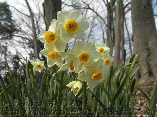 「ニホンズイセン」の花(錦織公園2013年2月)