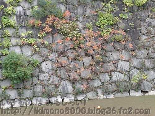 内堀の石垣のハゼノキ