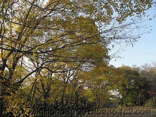 黄葉している梅の里峰(仮)のエノキとわかりにくいけどカキノキ
