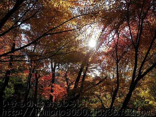 光に透かして見る紅葉
