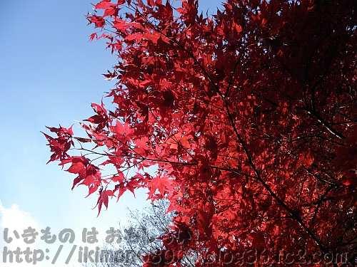 春にも紅葉するノムラカエデ