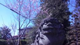 h24境内桜開花