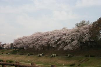 20110411sakura1.jpg
