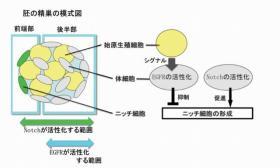 発生中の精巣におけるNotchおよびEGFR遺伝子の機能
