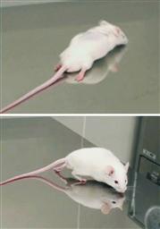 脊髄損傷マウスと回復マウス
