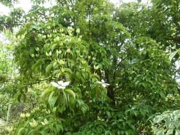 きれぎれの風採 「常緑ヤマボウシ」1-1