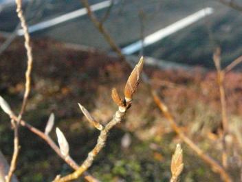 きれぎれの風採 「ヒメシャラ」1-2
