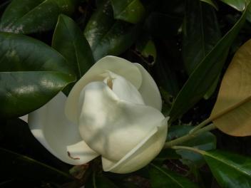 きれぎれの風採 「タイサンボク」2-3