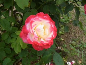 きれぎれの風採 「バラ」1-1