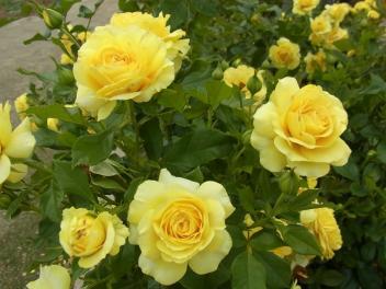 きれぎれの風採 「バラ」1-2