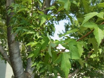 きれぎれの風採 「マンションの並木」1-3