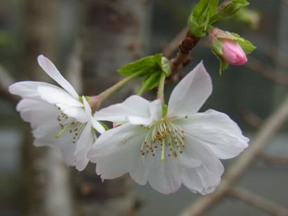 きれぎれの風採 「十月桜」1-1