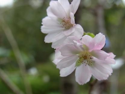 きれぎれの風採 「十月桜」1-2