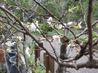 きれぎれの風採 「十月桜」1-3