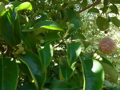 きれぎれの風採 「常緑ヤマボウシ」2-2