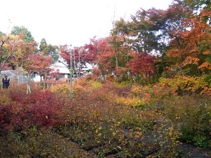 きれぎれの風採 「小林槭樹園」1-2