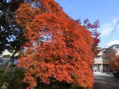 きれぎれの風採 「小林槭樹園」1-3