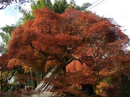 きれぎれの風採 「小林槭樹園」1-4