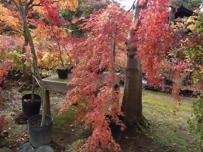 きれぎれの風採 「小林槭樹園」1-5
