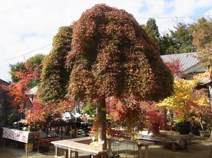 きれぎれの風採 「小林槭樹園」1-6