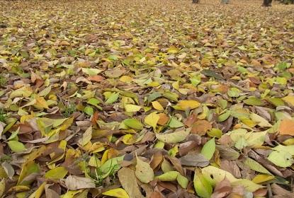 きれぎれの風採 「落ち葉」1-1