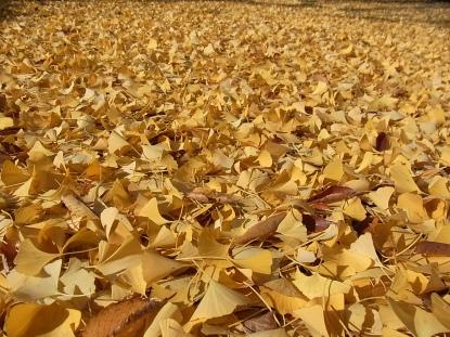 きれぎれの風採 「イチョウ」2-4
