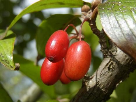 「サンシュユ ~果実は緑から赤に」