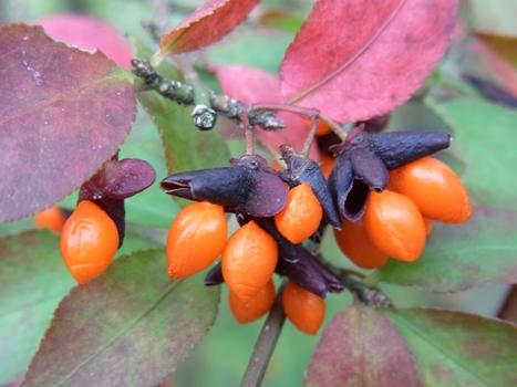 「ニシキギ ~赤橙色の種子」