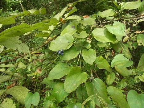 「アオツヅラフジ ~藍錆色の果実」